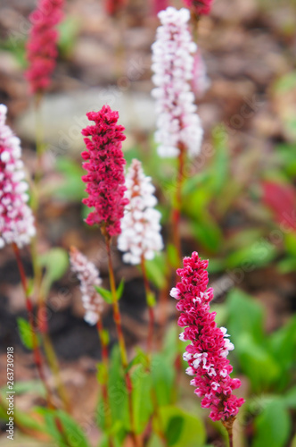 Polygonum affine daijeerling red pinkish-red pokers Canvas Print