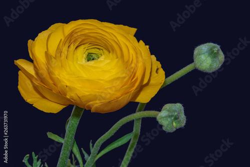 Slika na platnu Detailed fine art still life color macro of a single isolated yellow buttercup /