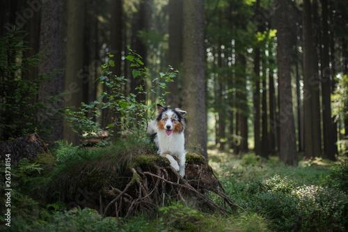 Fotografija Australian Shepherd dog in the forest. pet for a walk