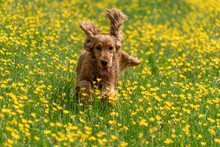 Happy Cocker Spaniel Running In The Yellow Daisy Field