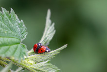 Pair Of Seven Spot Ladybirds (...