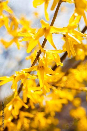 Branch of flowering Forsythia closeup Canvas Print