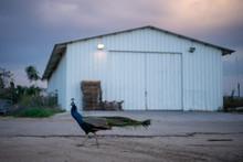 A Peacock On A Rural Kibbutz Farm In Northern Israel