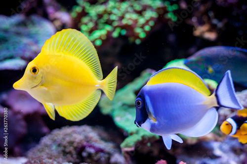 Paracanthurus hepatus, Blue tang (Acanthurus leucosternon) and Zebrasoma flavescens  in Home Coral reef aquarium Wallpaper Mural