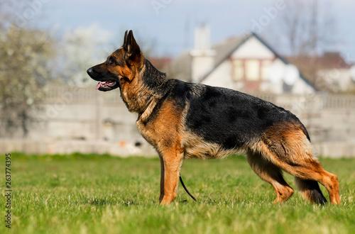Wallpaper Mural Shepherd Dog Stand
