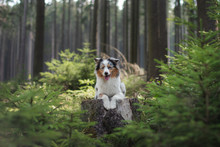 Australian Shepherd Dog In The Forest. Pet For A Walk