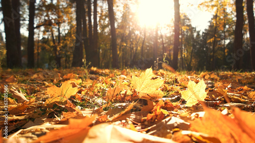 Fotobehang Herfst Beautiful yellow leaves in an autumn park. Autumn leaves covering the ground in the autumn forest. Golden autumn forest in sunlight.