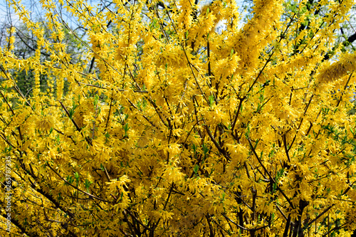 Canvas-taulu Forsythia flowers in front of with green grass and blue sky