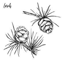 Hand Drawn Sprigs Of Larch Wit...