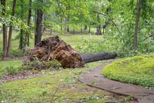 Large Oak Tree Fallen In Yard After Tornado