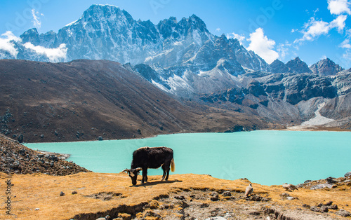 Foto auf AluDibond Grau Himalayan Yak eating grass at the shore of Gokyo lakes in Gokyo village one of the most tourist attraction place in Solukhumbu district of Nepal.