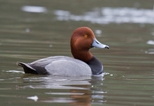 Drake Redhead Duck Swims On A ...