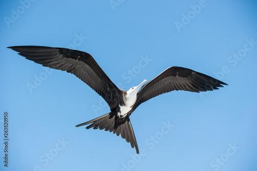 Wandering albatross closeup Canvas Print