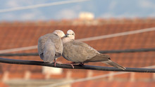 Couple Of Eurasian Collared Doves (Streptopelia Decaocto) Having Romantic Touches Standing On Electrical Wire