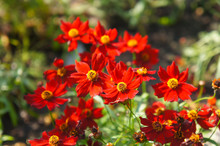 Plains Coreopsis Or Garden Tickseed Red Flowers