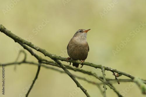 A pretty Wren, Troglodytes troglodytes, perched on a branch in a tree Canvas-taulu