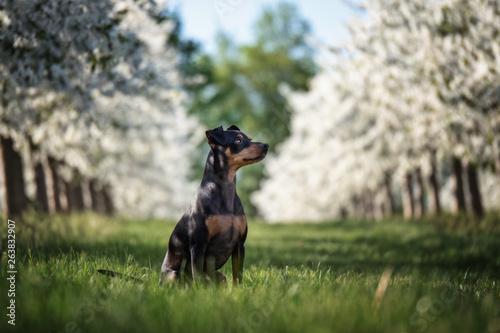 Obraz na płótnie Portrait Hund in einer Reihe weißer Kirschbäume mit gras und himmel im hintergru