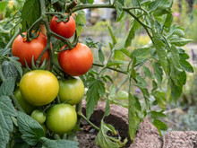 Tomates Ripen On Wine In A Garden