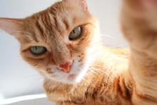 Ginger Cat Taking A Selfie Sho...