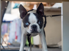 French Bulldog With Different ...