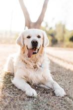 English Cream Retriever Dog Sitting Back Lit Boy Winter Sun