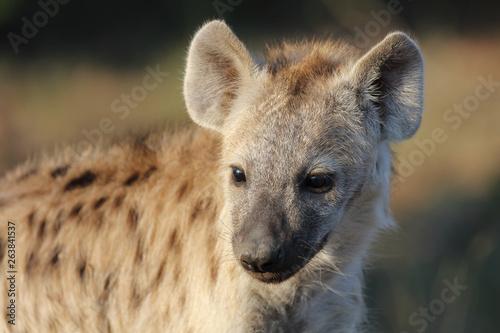 Garden Poster Hyena Tüpfelhyäne / Spotted Hyaena / Crocuta crocuta.