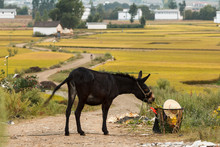 Mule In Chinese Countryside Among Fields