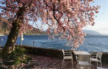 Bright Pink Magnolia In Bloom By The Shore Of Lake Maggiore, Ticino, Switzerland