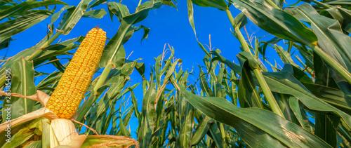 Canvas Corn on the cob