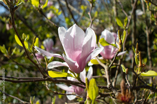 Photo  Pink spring magnolia iliiflora flowers