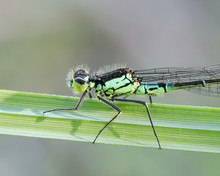 Norfolk Damselfly Or Dark Bluet, Coenagrion Armatum