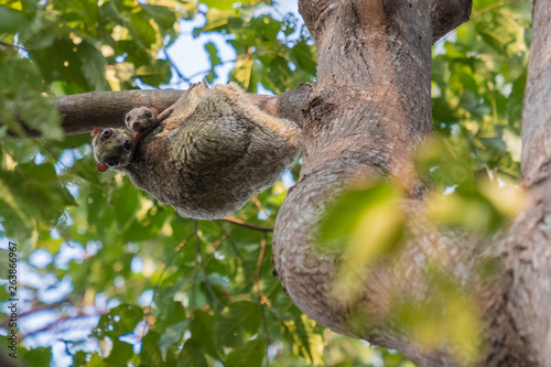 Canvas Prints Koala Flying Lemur (Galeopterus variegatus) clings to a tree and rests during the day (nocturnal animal) in Tarutao National Park Thailand.
