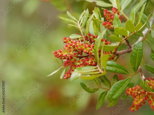 Fotografía Pistachier lentisque (Pistacia lentiscus) en fleurs dans la garrigue provençale