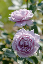 Blooming Mauve Or Mauve Blend Rose In The Garden On A Sunny Day.