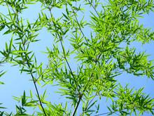 Green Bamboo Leaf Against Blue Sky