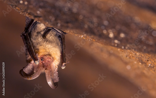 Close up picture of small Brown long-eared bat Plecotus auritus hanging upside down in dark cave resembling similar gray Plecotus austriacus Fototapet