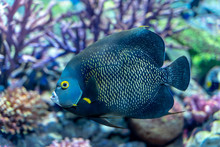 French Angelfish (Pomacanthus ...