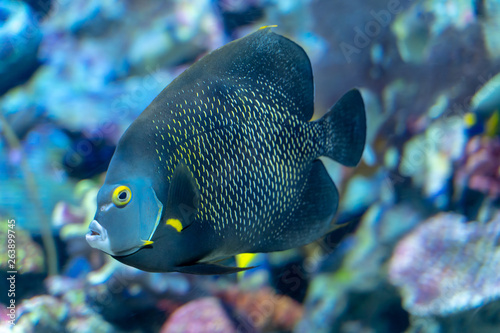 Photo French angelfish (Pomacanthus paru) a large ornamental fish from Atlantic Ocean