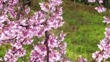 Eastern Redbud Blossoms Taken Up Close Swaying In The Breeze In Slow Motion On An Early Spring Day Near DC.