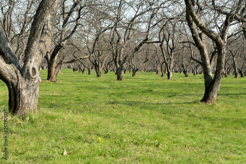 Foto op Canvas Olijfboom apple orchard in spring
