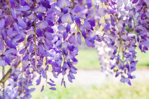 Fototapety, obrazy: Wisteria purple flowers