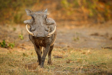 Great African Warthog. Huge Wi...