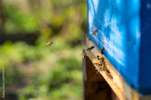 Bees working at the entrance to the hive. Bees carry bee pollen and nectar. Close-up of the entrance to the hive. Blue beehive.