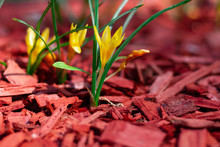 Macro Shot Of Bright Yellow Flowers On A Red Mulched Flowerbed Close-up. Beautiful Mulching Flower Beds. Pine Chips Mulch On A Flower Bed Close-up. Selective Focus.