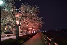 Cherry Blossoms At Kawagoe Cit...
