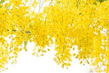 Beautiful Of Cassia Fistula Bl...
