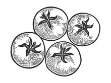 Tomato Plant Sketch Engraving Vector Illustration. Scratch Board Style Imitation. Hand Drawn Image.