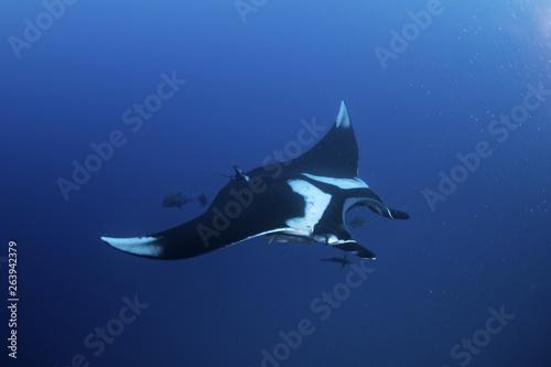 Carta da parati giant oceanic manta ray, manta birostris