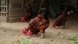 Chicken nature farm