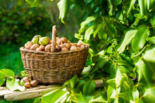 Basket Of Walnuts In The Garde...